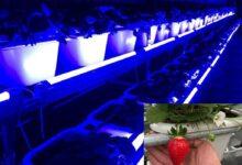 亿光研发草莓专用转色灯,香水草莓颜色转红比率增加30%!